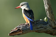 Greyhooded Kingfisher