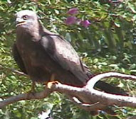 Yellowbilled kite