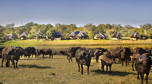 Arathusa Safari Lodge buffalo herd Big 5 Sabi Sands Game Reserve Accommodation booking