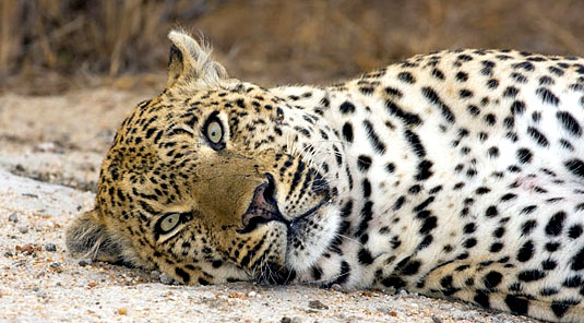 Leopard Sighting Arathusa Safari Lodge Sabi Sands Game Reserve Accommodation booking
