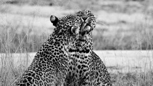 Wildlife Sightings Game Drives Arathusa Safari Lodge Sabi Sands Game Reserve Accommodation booking