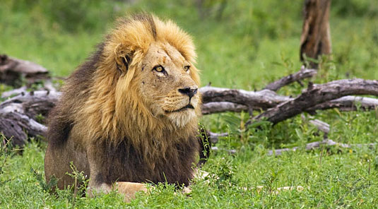 Male Lion Sighting Arathusa Safari Lodge Sabi Sands Game Reserve Safari Lodge Accommodation