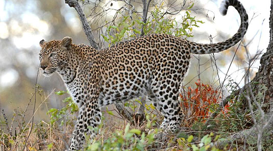 Leopard daily game drives Sabi Sand Luxury African Safari Game Lodge Dulini River Lodge Dulini Private Game Reserve South Africa