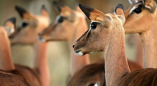 Impala Sabi Sand Luxury African Safari Game Lodge Dulini River Lodge Dulini Private Game Reserve South Africa
