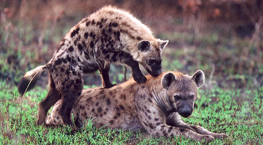 Spotted Hyena Sabi Sand Luxury African Safari Game Lodge Dulini River Lodge Dulini Private Game Reserve South Africa