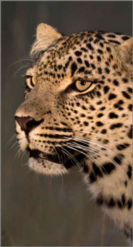 Leopard Sighting,Elephant Plains Game Lodge,Sabi Sand Game Reserve,Accommodation Booking