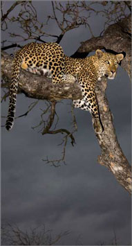 Leopard,tree,Elephant Plains Game Lodge,Sabi Sand Game Reserve,Accommodation Booking