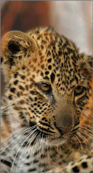 Leopard Cub,Elephant Plains Game Lodge,Sabi Sand Game Reserve,Accommodation Booking
