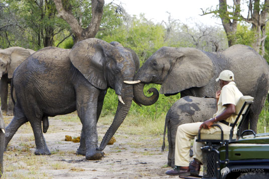 Elephant Sighting Game Drives Elephant Plains Game Lodge Sabi Sand Game Reserve Accommodation Booking