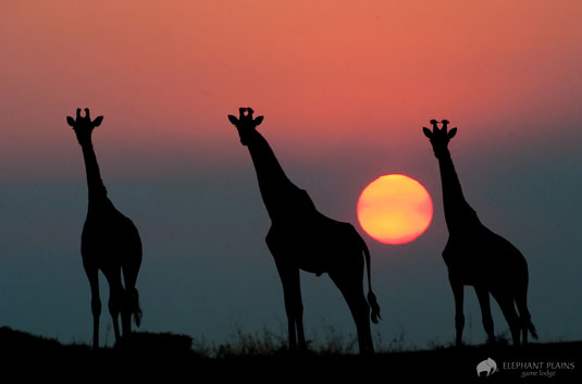 Giraffe Sighting Sunset Elephant Plains Game Lodge Sabi Sand Game Reserve Accommodation Booking