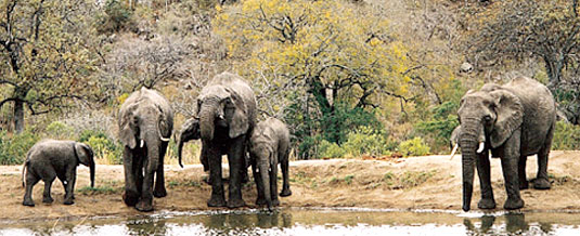 Elephant Herd South African Safari Leopard Hills Private Game Reserve Sabi Sand Game Reserve Accommodation Booking