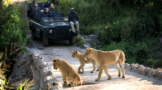 Game Drives Pride Lions Luxury South African Safari Lion Sands Private Game Reserve Sabi Sand Game Reserve South Africa