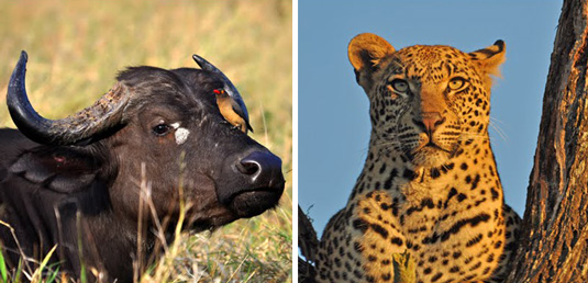 Buffalo Leopard Sighting Mala Mala Lodges Mala Mala Private Game Reserve Sabi Sand Private Game Reserve Accommodation Booking