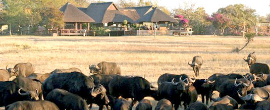 Buffalo sighting Main Lodge Nkorho Bush Lodge Sabi Sands Private Game Reserve Kruger National Park Accommodation Booking