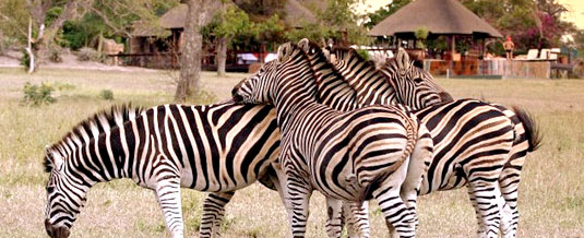 Zebra Sighting Main Lodge Nkorho Bush Lodge Sabi Sands Private Game Reserve Kruger National Park Accommodation Booking