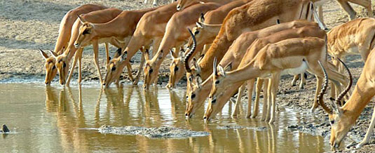 Impala Waterhole Nottens Bush Camp Nottens Private Game Reserve Sabi Sands Game Reserve Accommodation bookings