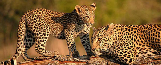 Luxury Safari Holiday Leopard and her cub Sighting on Game Drive Nottens Bush Camp Nottens Private Game Reserve Sabi Sands Game Reserve Accommodation bookings
