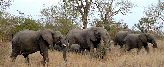 Elephats herd sighting bush big 5 Nottens Bush Camp Nottens Private Game Reserve Sabi Sands Game Reserve Safari Lodge bookings