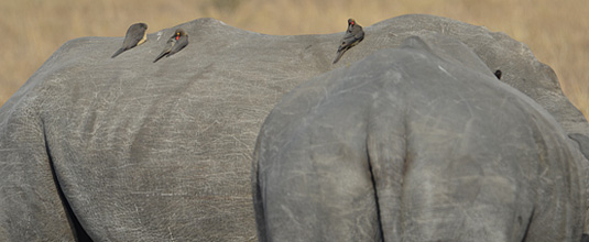 Rhino sighting bush big 5 Nottens Bush Camp Nottens Private Game Reserve Sabi Sands Game Reserve Safari Lodge bookings