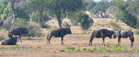 Wildebeest sighting bush Nottens Bush Camp Nottens Private Game Reserve Sabi Sands Game Reserve Safari Lodge bookings