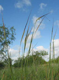 Spear Grass,Sabi Sands Game Reserve