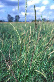 vlei bristle grass,Sabi Sands Game Reserve