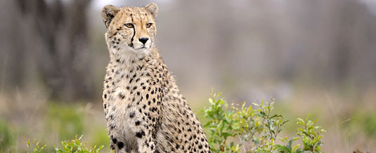 Cheetah Sighting Sabi Sabi Private Game Reserve Sabi Sands Reserve Luxury Accommodation