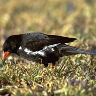 Red-billed Buffaloweaver,,Sabi Sands,The Big Five
