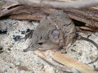 Elephant shrew,Sabi Sands,The Big Five