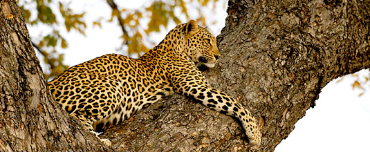 Ulusaba Leopard sighting tree Ulusaba Private Game Reserve Sabi Sand Private Game Reserve