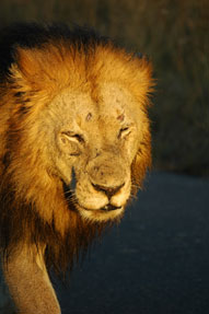 Lion,Sabi Sands,The Big Five