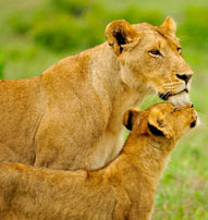 Lioness cub Inyati Game Lodge Sabi Sand Game Reserve Accommodation Booking
