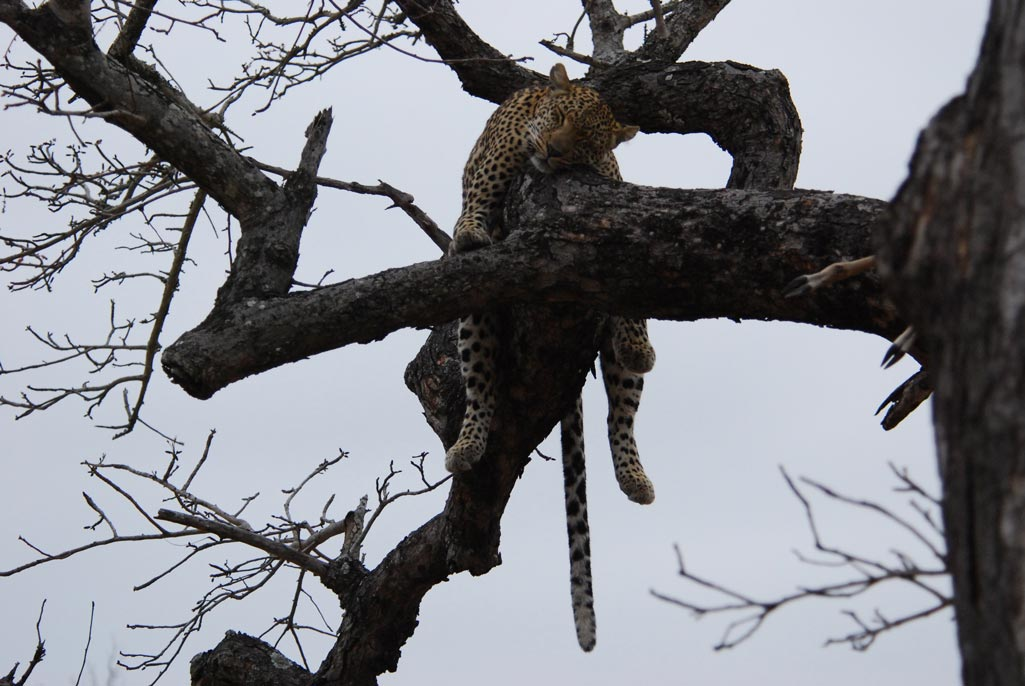 Leopard sleeping in a tree - Cheetah Plains Private Game Reserve - Sabie and Sand Rivers Ecosystems - Greater Kruger National Park, South Africa