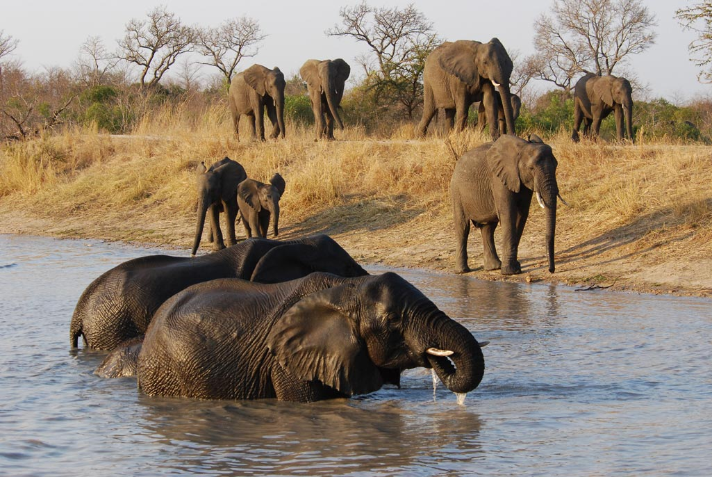 Elephant - Sabie and Sand Rivers Ecosystems - Greater Kruger National Park, South Africa