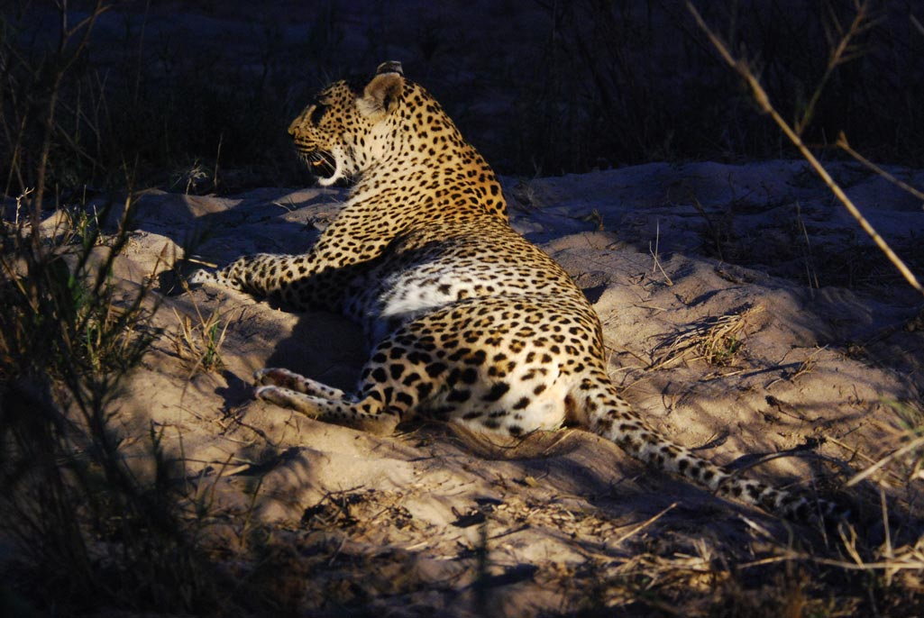Leopard - Sabie and Sand Rivers Ecosystems - Greater Kruger National Park, South Africa