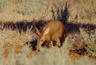 Antbear (Aardvark),Sabie Sands Game Reserve,Kruger National Park,Big 5