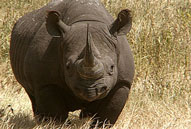 Black Rhino,Sabie Sands Game Reserve,Kruger National Park,Big 5