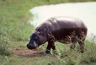 Hippopotamus,Sabie Sands Game Reserve,Kruger National Park,Big 5