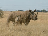 White Rhino,Sabie Sands Game Reserve,Kruger National Park,Big 5