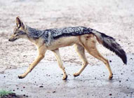 Black-Backed Jackal ,Sabie Sands Game Reserve,Kruger National Park,Big 5