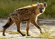 Hyaena,Sabie Sands Game Reserve,Kruger National Park,Big 5
