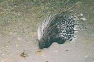 Porcupine,Sabie Sands Game Reserve,Kruger National Park,Big 5