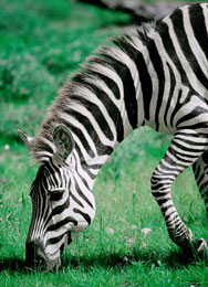 Burchell's Zebra,Sabie Sands Game Reserve,Kruger National Park,Big 5